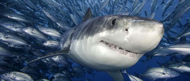 shark_n_prey